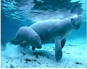 Manatee is the new national symbol of Costa Rica